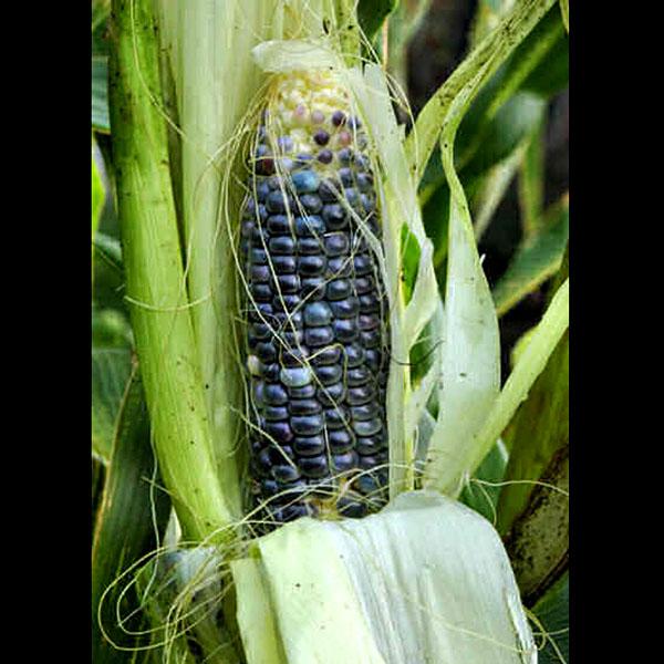 В мире становится модной синяя кукуруза (фото)